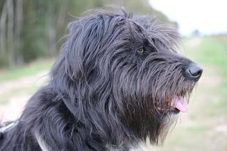 Angeleinter Hund im Moor